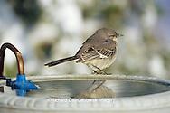 01395-02115 Northern Mockingbird (Mimus polyglottos) at heated bird bath in winter Marion Co.  IL