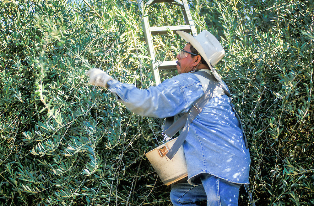 CENTRAL VALLEY, CALIFORNIA - Olive harvest at S&J Ranch