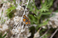 Phyciodes pulchella (Field Crescent) at Sherman Pass, Tulare Co, CA, USA, on 07-Jun-15