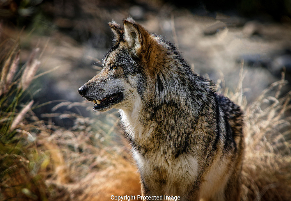 In 1998 captive-bred Mexican Wolves were reintroduced into eastern Arizona's Blue Primitive Area in an attempt to assure this subspecies survival