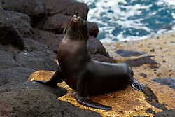 A juvenile Galapagos Sea Lion (Zalphus wollebacki) stands upon a boat landing with lava rocks and ocean in the background, Galapagos Islands National Park, North Seymour Island, Galapagos Ecuador.