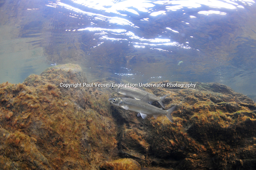 Pair of Ciscoes<br /> <br /> Paul Vecsei/Engbretson Underwater Photography