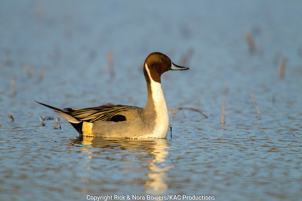 Northern Pintail <br /> Anas acuta<br /> Bosque del Apache National Wildlife Refuge, New Mexico, United States<br /> 18 December       Adult Male alert.        Anatidae