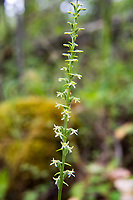 My favorite of the native piperia orchids, the flat-spurred orchid is found only in the western states of Washington, Oregon and California, and also in the Canadian province of British Columbia. It is also one of the easiest to identify. The white flowers are quite large, and the sepals have a green stripe through the center of them. More strikingly, the extra-long tube-like or horn-like spur is almost always in a horizontal to the stem. In this case, it wasn't exactly horizontal, but close enough to fit the description. The closely related elegant piperia (Piperia elegans) also has a greatly elongated spur, with similar flowers, but the spur hangs downward against the stem. This was one of several found in a deeply wooded area in rural Thurston County between Yelm, Washington and Mount Rainier.