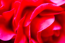Flower petals abstract in red,California, USA