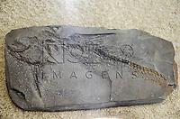 Fóssil Steindachneridion ihering ( Peixe), Formação Tremembé, Oligoceno,  Taubaté. Museu Geológico Valdemar Lefèvre, São Paulo - SP, 07/2014.