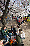 Yeoido Island. Hundreds of Thousands of Seoulites enjoy the Cherry Blossom in Yunjungno, the street around the National Assembly lined by cherry trees which has been cleared from traffic for these days. Family picknick.