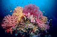 Festooned in soft corals and gorgonian fans in Blighs Channel, Fiji.