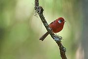 """Red Warbler (Ergaticus Ruber).Nombre vernáculo  """"Orejas de Plata"""".Las Palomas, Morelos.(Mexico)"""