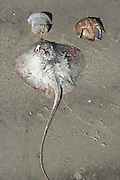 A dead stingray, jellyfish and horse shoe crab, all washed up onto the beach in this strange order.