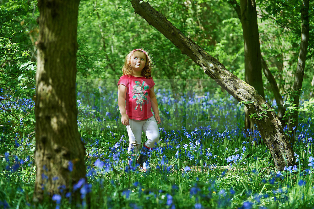 © Licensed to London News Pictures. 04/05/2015 London, UK. Elsa Stamp, 5 walks amongst the bluebells at Bentley Priory Nature Reserve, Stanmore, north west London in the May Day Spring Bank Holiday sunshine. Photo credit : Simon Jacobs/LNP