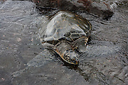 Hilo, Hawaii, USA. Green sea turtle (Chelonia mydas)