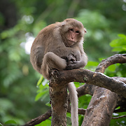 The Assam macaque (Macaca assamensis) is a macaque of the Old World monkey family native to South and Southeast Asia. Since 2008, the species has been listed as Near Threatened by IUCN, as it is experiencing significant declines due to hunting, habitat degradation and fragmentation.