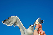 A sea gull takes popcorn out of a hand.