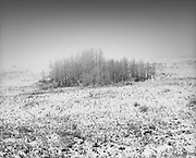 A bunch of hoar frost covered trees on a hillside near Cochrane