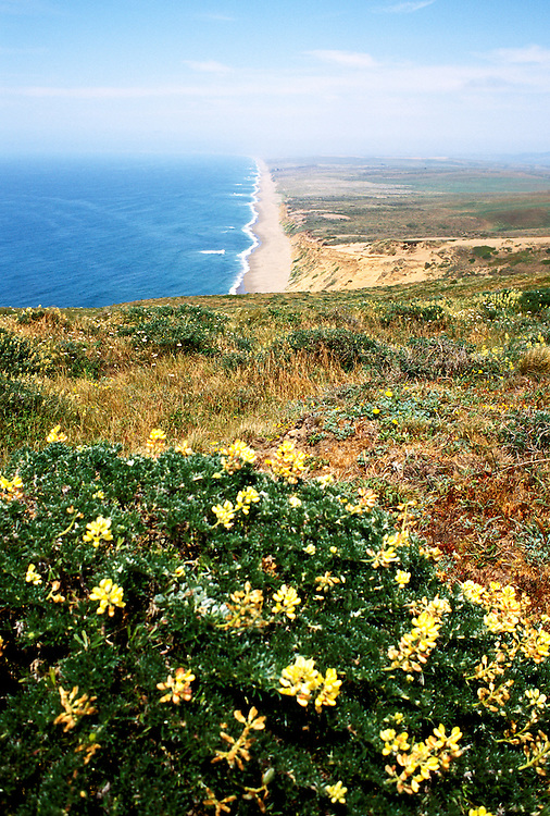 CA: Yellow lupine wildflowers on bluff at Point Rayes National Seashore in Marin County  .Photo: cabeac103..Photo Copyright: Lee Foster, 510-549-2202, lee@fostertravel.com, www.fostertravel.com