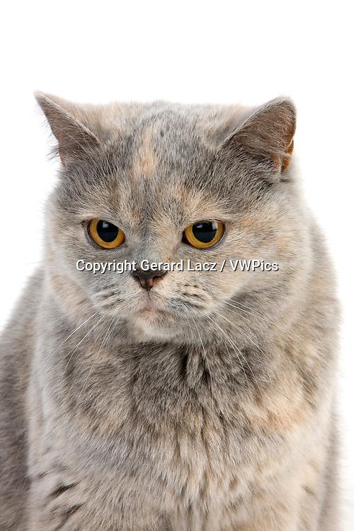 Blue Cream British Shorthair Domestic Cat, Female against White Background