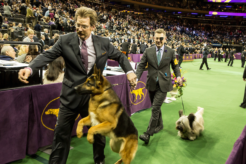 New York, NY - 16 February 2016. A German shepherd and a Skye terrier leave the ring after the Best of Show judging at the 140th Westminster Kennel Club Dog show in Madison Square Garden.