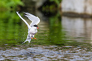 A Common Tern (Stirna hirundo) bathes by splashing in a pond on Seal Island, Maine.