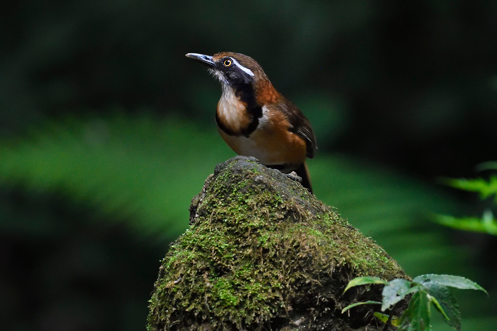 Lesser necklaced laughing thrush bird, Garrulax monileger, sitting in Tongbiguan nature reserve, Dehong Prefecture, Yunnan Province, China