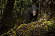 A young American black bear (Ursus americanus). Photographed in the Rogue River National Forest, Oregon.