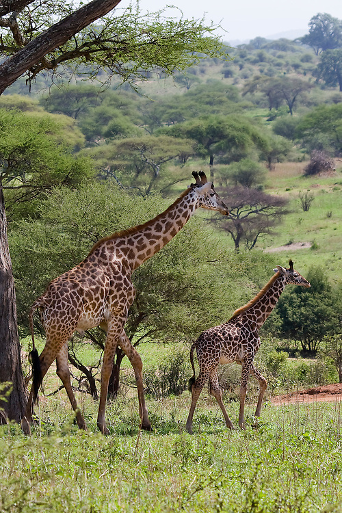 A Mother and Calf Giraffe Walk Across the Lush Tarangire Landscape
