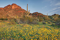 Fields of Mexican Poppies in the Ajo Mountains, Organ Pipe Cactus National Monument Arizona