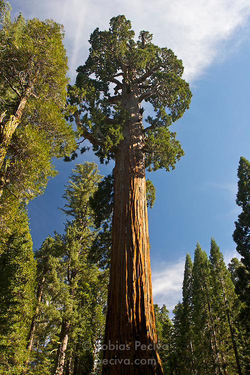 Wide angle shot of a giant sequoia tree in Sequoia National Park, California.