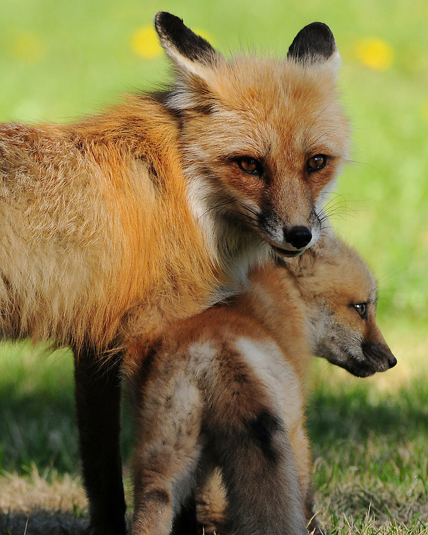 At birth, red foxes are actually brown or gray. A new red coat usually grows in by the end of the first month, but some red foxes are golden, reddish-brown, silver, or even black.