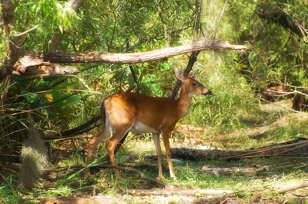 Very large deer (for South Florida) photographed just outside of the Florida Panther National Wildlife Refuge in Collier County.