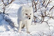 01863-01116 Arctic Fox (Alopex lagopus) in snow in winter, Churchill Wildlife Management Area, Churchill, MB Canada