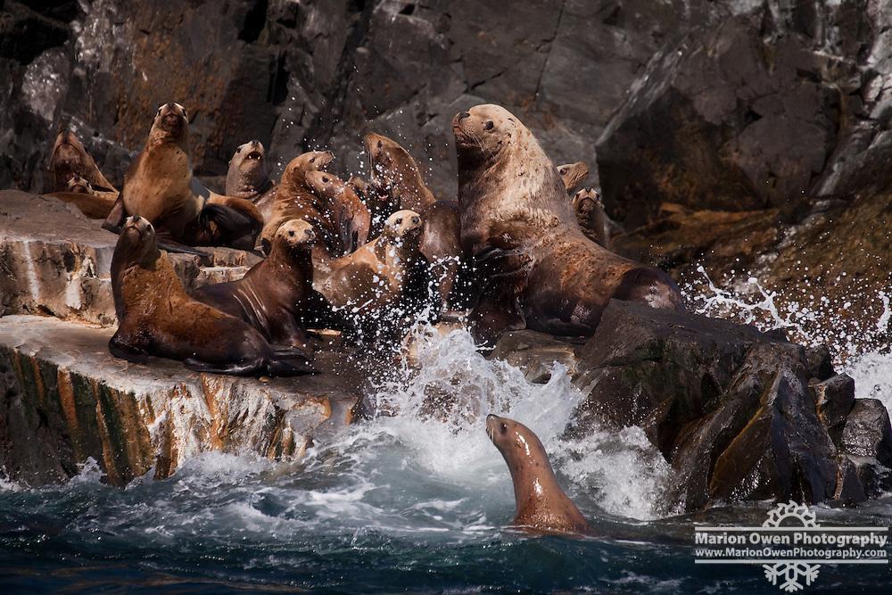 Steller sea lions at rookery east of Long Island in the Kodiak Island archipelago, Gulf of Alaska
