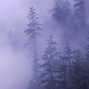 An image of Douglas Fir trees on a mountainside in a fog near Mount Hood, Oregon