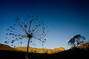 Santana do Riacho_MG, Brasil...Sempre viva (Paepalanthus) do Alto Palacio no Parque Nacional da Serra do Cipo...Sempre viva (Paepalanthus) in Alto Palacio in the Serra do Cipo National Park...Foto: JOAO MARCOS ROSA / NITRO