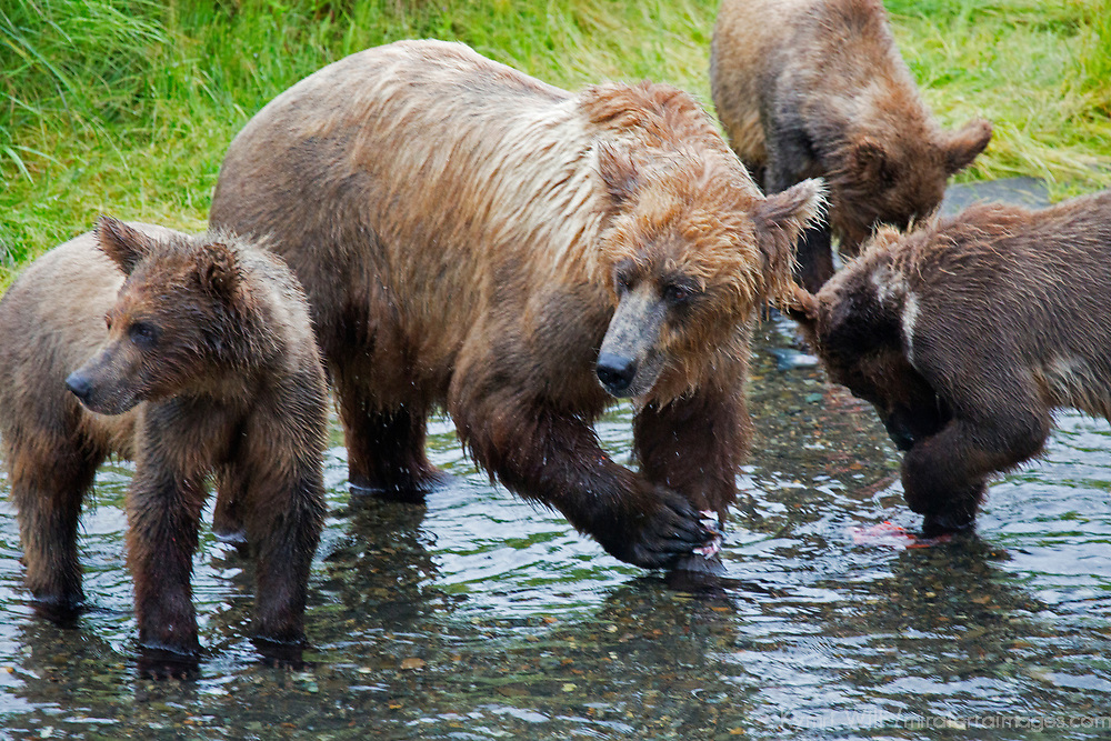USA, Alaska, Katmai. Grizzly Bear sow and cubs learning to catch fish at Brooks Falls, Katmai National Park.