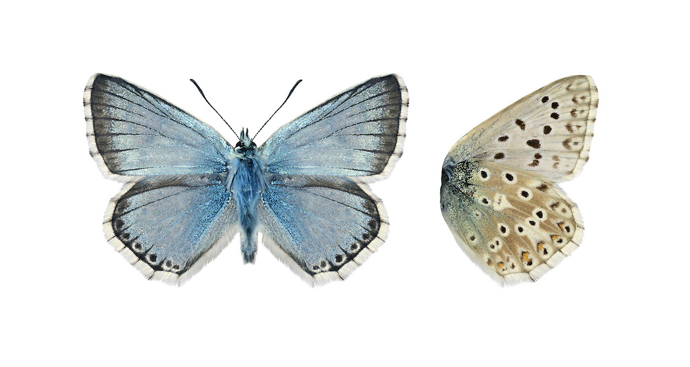Chalkhill Blue Polyommatus coridon - Male. Wingspan 40mm. Iconic downland butterfly, males of which are a unique colour amongst British blues. Adult male has pale sky-blue upperwings; female's are dark brown with orange submarginal spots. Underwings of both sexes are grey-brown with spots. Flies July–August. Larva feeds on Horseshoe Vetch; sometimes discovered at dusk being attended by ants. Very local and restricted to chalk and limestone grassland in southern England.