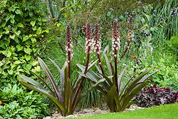 Eucomis comosa 'Sparkling Burgundy' - Pineapple flower, Pineapple lily
