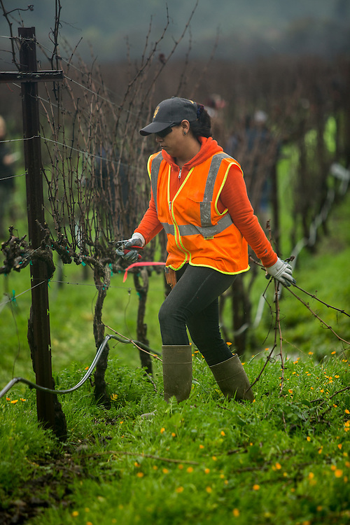 Walsh Vineyard employee Alexandra Oregel participates in the The Napa Grape Growers Association and the Napa Valley Farm Workers Foundation annual vine pruning competition in Yountville, CA.