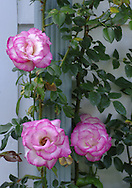 Pink Edged Climbing Rose