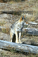 An adult Coyote watches the ground around fallen trees for mice and voles.