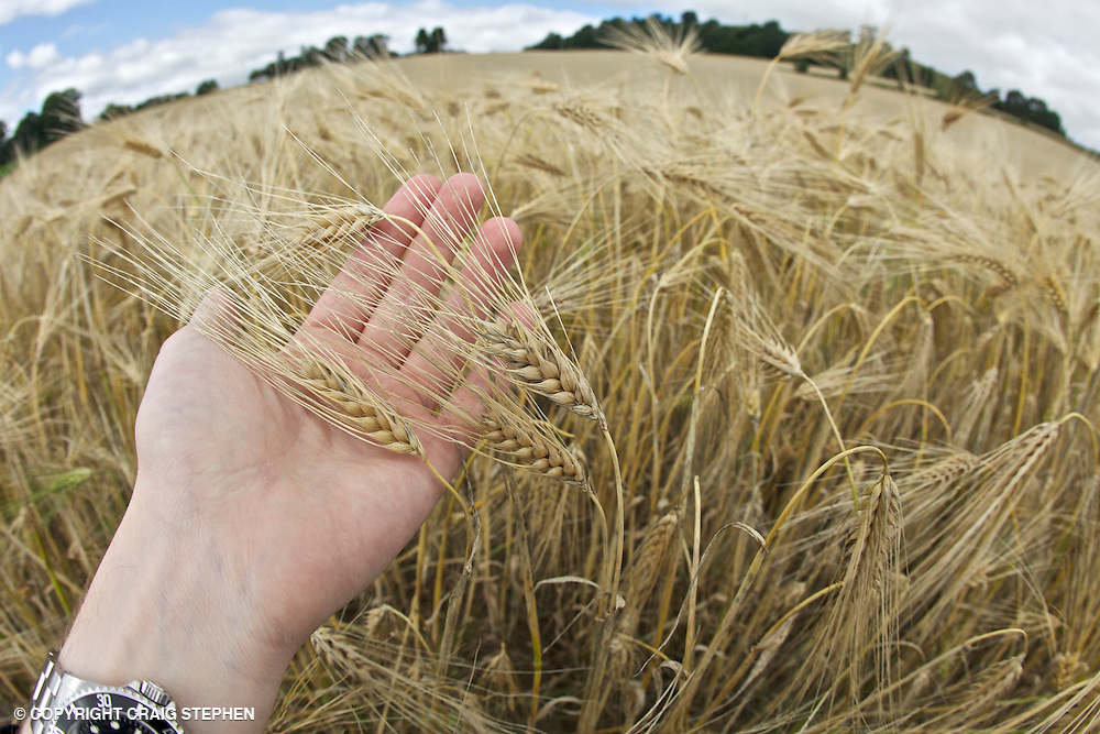 Hand holding ears of barley in a field in Perthshire, Scotland