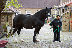 © Licensed to London News Pictures. 14/05/2012. Richmond, UK. Royal Parks Shire horse Jed who will be officially retired tomorrow (May 15) in a ceremony held by The Queen at the stables in Richmond Park in Richmond, London. Jed, who stands at 17.3 hands tall, was born in 1993 and joined The Royal Parks from the Brass Brewery in Burton Upon Trent almost 10 years ago. Pictured here with shire horse staff Sandra Croxall. Photo credit : Ben Cawthra/LNP