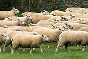 Flock of sheep, Oxfordshire, England