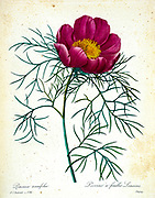19th-century hand painted Engraving illustration of a Paeonia tenuifolia or fine-leaved peony flower, by Pierre-Joseph Redoute. Published in Choix Des Plus Belles Fleurs, Paris (1827). by Redouté, Pierre Joseph, 1759-1840.; Chapuis, Jean Baptiste.; Ernest Panckoucke.; Langois, Dr.; Bessin, R.; Victor, fl. ca. 1820-1850.