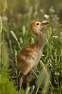 Sandhill crane downy young in lush wetland meadow, © 2014 David A. Ponton