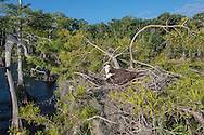 Osprey brooding small young in stick nest in cypress tree, with Spanish moss, © 2007 David A. Ponton