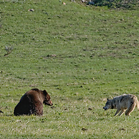 Gray wolf challenging grizzly bear over bison calf.