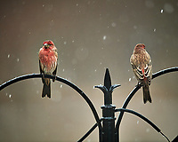 Pair of male House Finches on a snowy day. Image taken with a Nikon D5 camera and 600 mm f/4 VRII lens (ISO 1600, 600 mm, f/4, 1/400 sec).