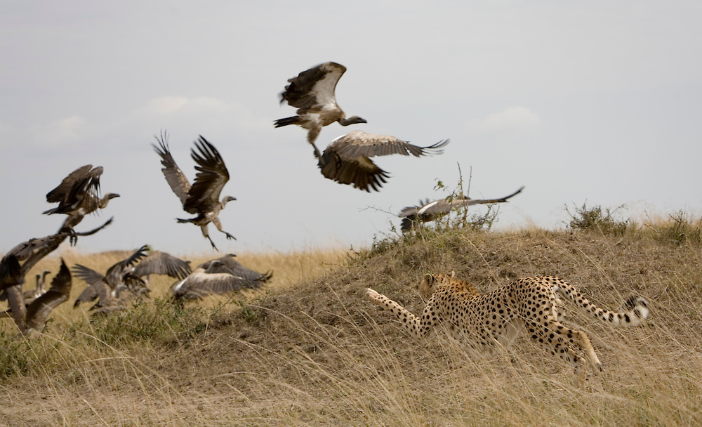 Kenya, Masai Mara Game Reserve,  Cheetah (Acinonyx jubatas) chases after flock of vultures while feeding on Gazelle kill