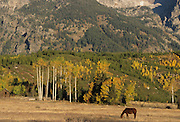 Aspen, Aspen tree, Cottonwood, Cottonwood tree, Autumn, Fall, Grand Tetons, Grand Teton National Park, Jackson, Wyoming